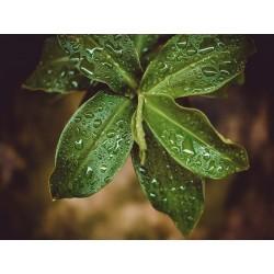 Leaves 12
