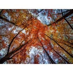 Fall Trees 16