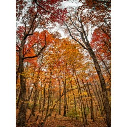 Fall Trees 17