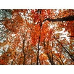 Fall Trees 18