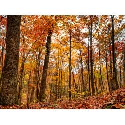 Fall Trees 19